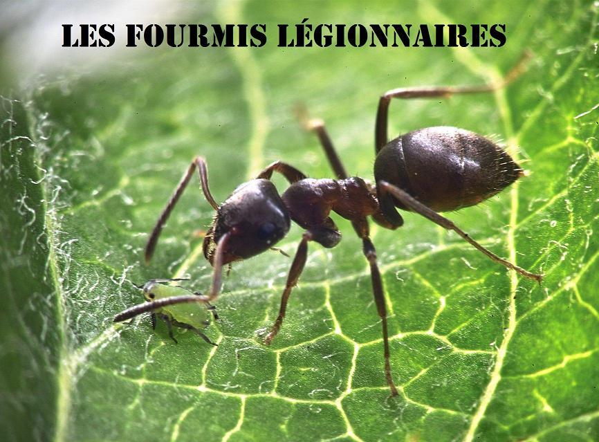 Fourmis Légionnaires Index du Forum